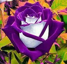 Aamish 20 semillas de flores de arbusto de rosas púrpuras/blancas
