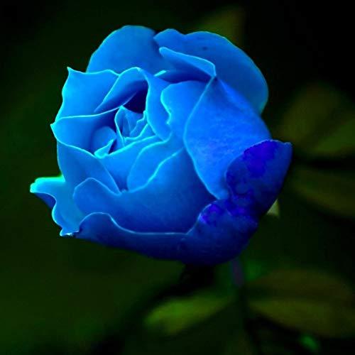 Semillas de flores100Pcs/Bolsa Rose Seeds Sweet High Germination RateMulti-color Planta Perenne Bonsai Rose Flowers Semilla - Semilla de rosa azul