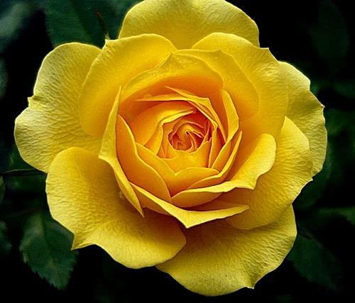SVI Semillas de flor de rosa amarilla