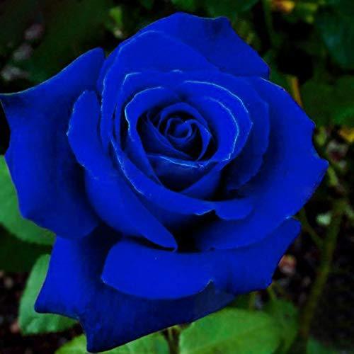 Benoon Semillas De Rosas, 50 Piezas/Bolsa Semillas De Rosas Plantas De Semillero De Flores Rústicas Azules Multiusos Naturales Para Jardín Azul medianoche semilla de rosa
