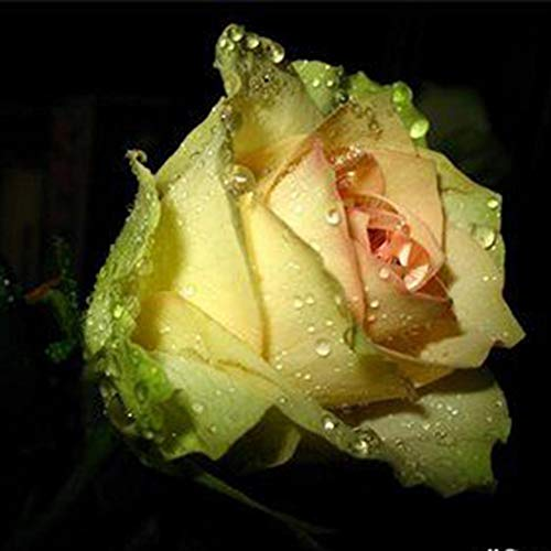 40Pcs Rose Flower Seeds Home Garden Perenne Fragante Bonsai Planta En Maceta Decoración Pretty Pant Seeds Amarillo Semillas de rosas