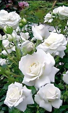 Aamish Semillas de flor de rosa trepadora blanca