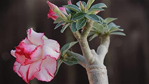 SVI 20 semillas de flores de Adenium Obesum Desert Rose