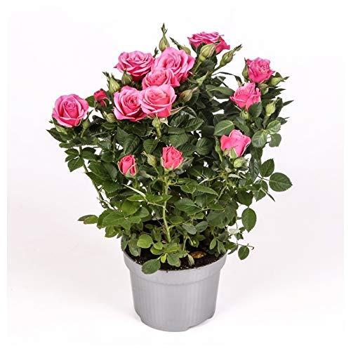 Rosal mini - PACK 4 unidades - maceta 10,5cm. - altura total aprox. 30cm. - planta viva - (envíos sólo a península)