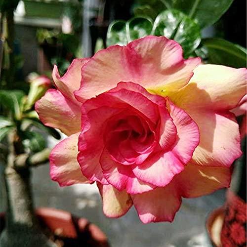 Rosa del desierto planta,Rojo brillante y hermoso,Dale A Tu Familia Una SensacióN Hermosa Y CáLida.-2,2bulbos