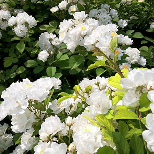 100 Unids/Bolsa Rosa Semillas Híbridas Viable Multiuso Tipo De Escalada Floreciente Semillas De Flores Valla blanco Semillas Rosa Multiflora