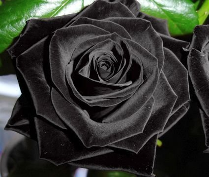 Rosa negro - 10 semillas