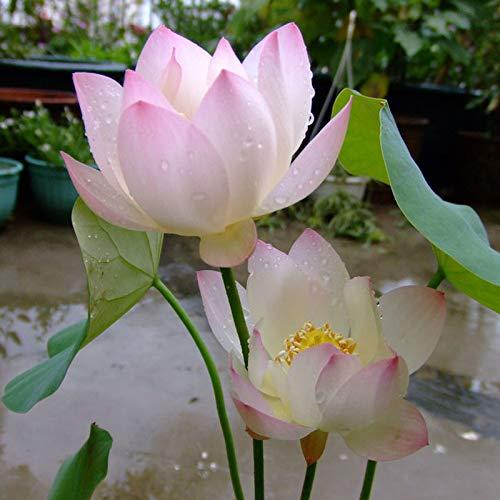 Liveseeds - Mini rosa de la mañana Bonsai Lotus/Flor de Nenúfar / 5 Semillas Frescas