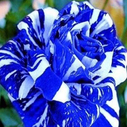 TOYHEART 100 Piezas De Semillas De Flores De Primera Calidad, Semillas De Rosas, Raras Y Prolíficas, Bonsais Azules, Plantas De Jardín, Semillas De Flores Para Balcón Azul