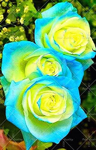 SVI 120pcs semillas de flores de rosas híbridas azules y amarillas
