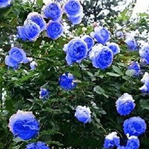 SVI 50 piezas de semillas de flores de rosas trepadoras azules