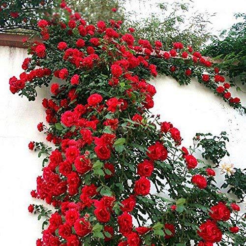eamqrkt 100 Pzas/Juego Rosal Trepador Semillas Perenne Aromático Jardín Hogar Planta Multiflora Flor Semilla - Rojo, Small