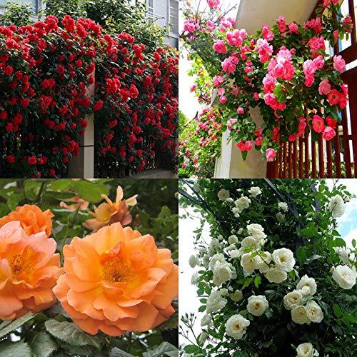 Portal Cool Blanca: 100 piezas rosales trepadores Semillas plantas perennes fragante jardín de flores Multiflora