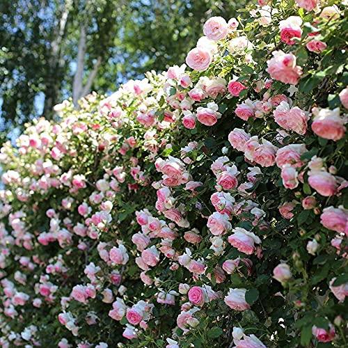 Flores Paisaje para cercas,Semillas de Flores perennes,Semilla de Flor de Rosa, Flor de Vid trepadora de balcón-Polvo_200 Grano