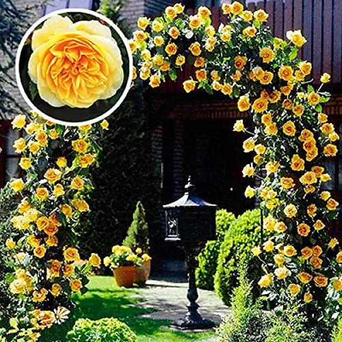 Semillas de Flores Paisaje para,Flores Semillas Planta Bonsai,Semilla de Flor de Rosa, Flor de Vid trepadora de balcón-Amarillo_200 Grano