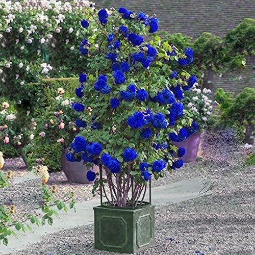 Semillas de plantas semillas de flores 300pcs/bolsa semillas de rosa silvestre perenne hierba medicinal azul bonsái jardín multiflora semillas para el hogar - escalada de semillas de rosa
