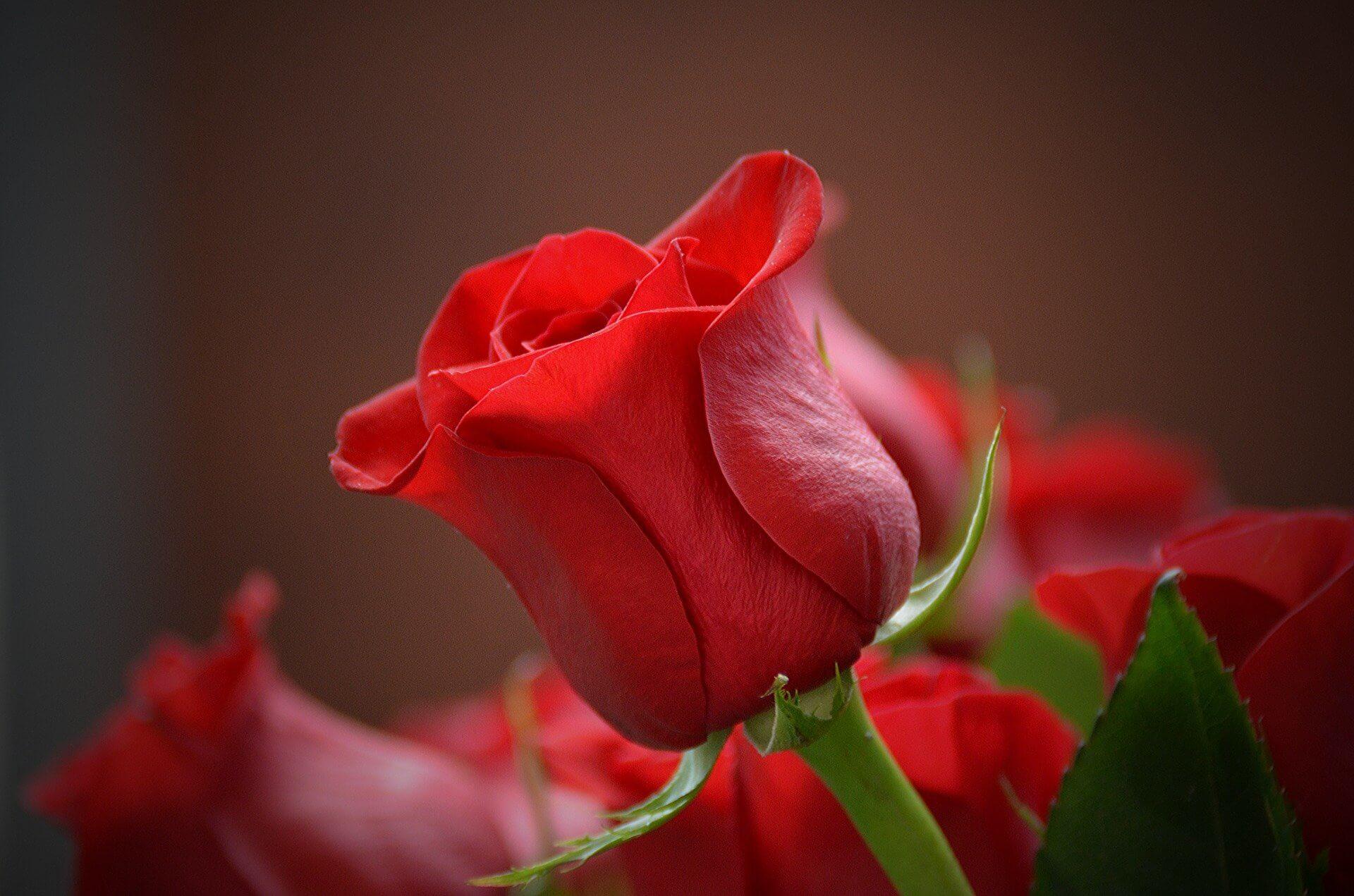 Foto Rosa Roja