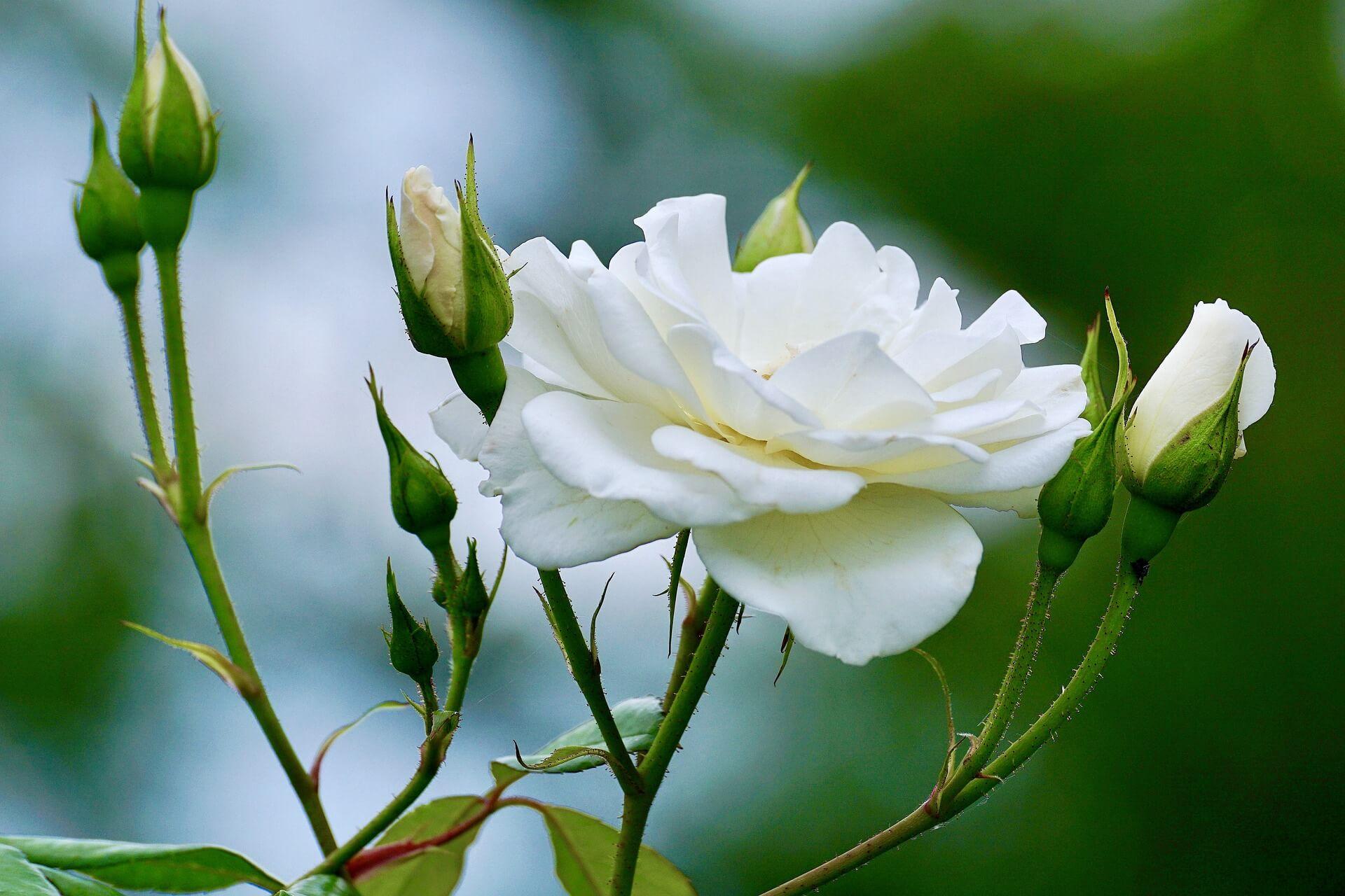 Foto Rosa Blanca