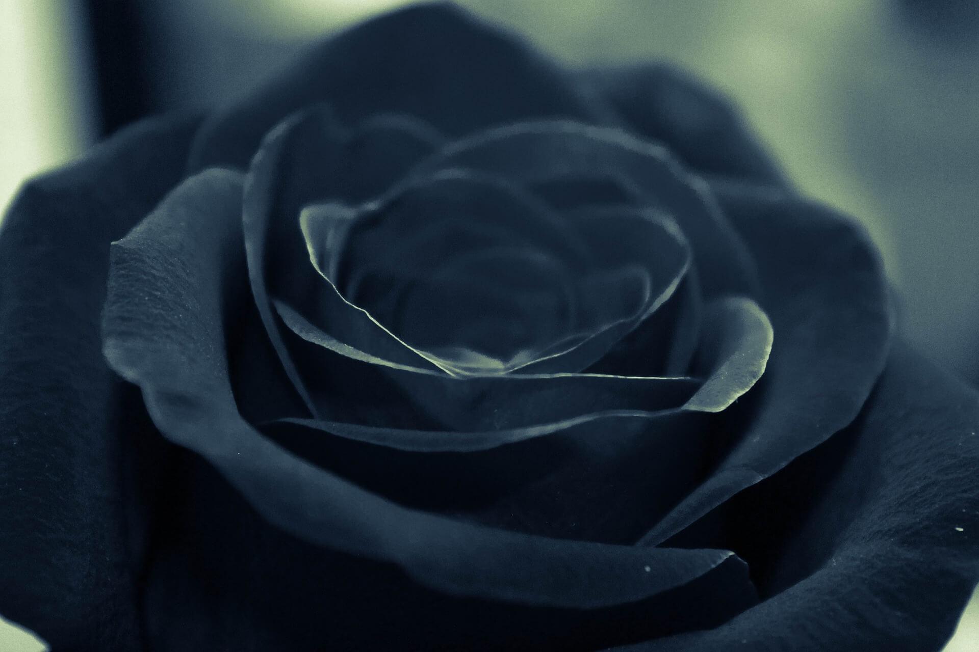Foto Rosa de color Negro