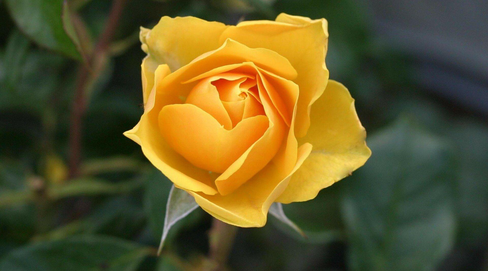 foto rosa amarilla