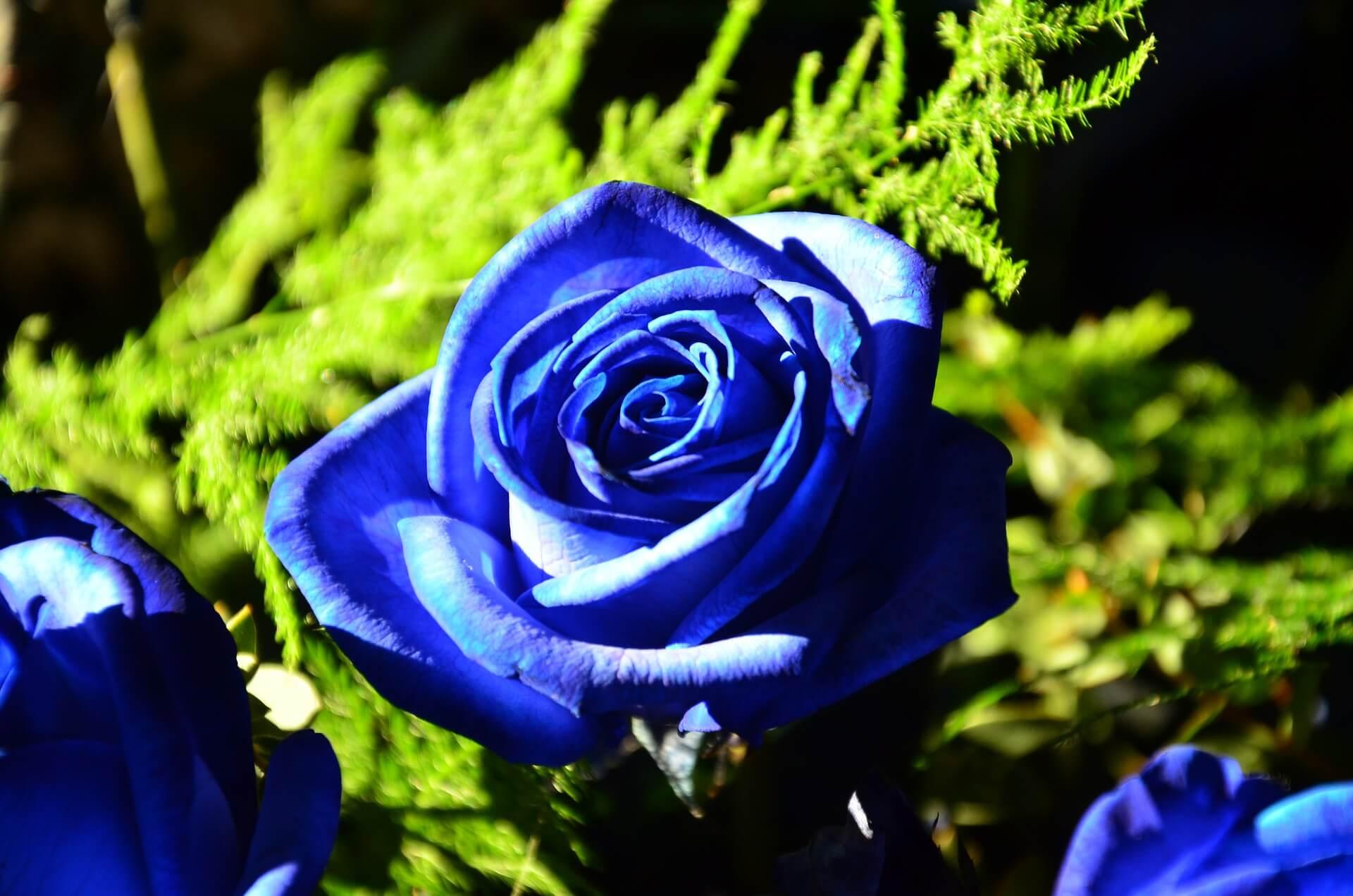 Foto de rosa azul en un rosal con fondo negro