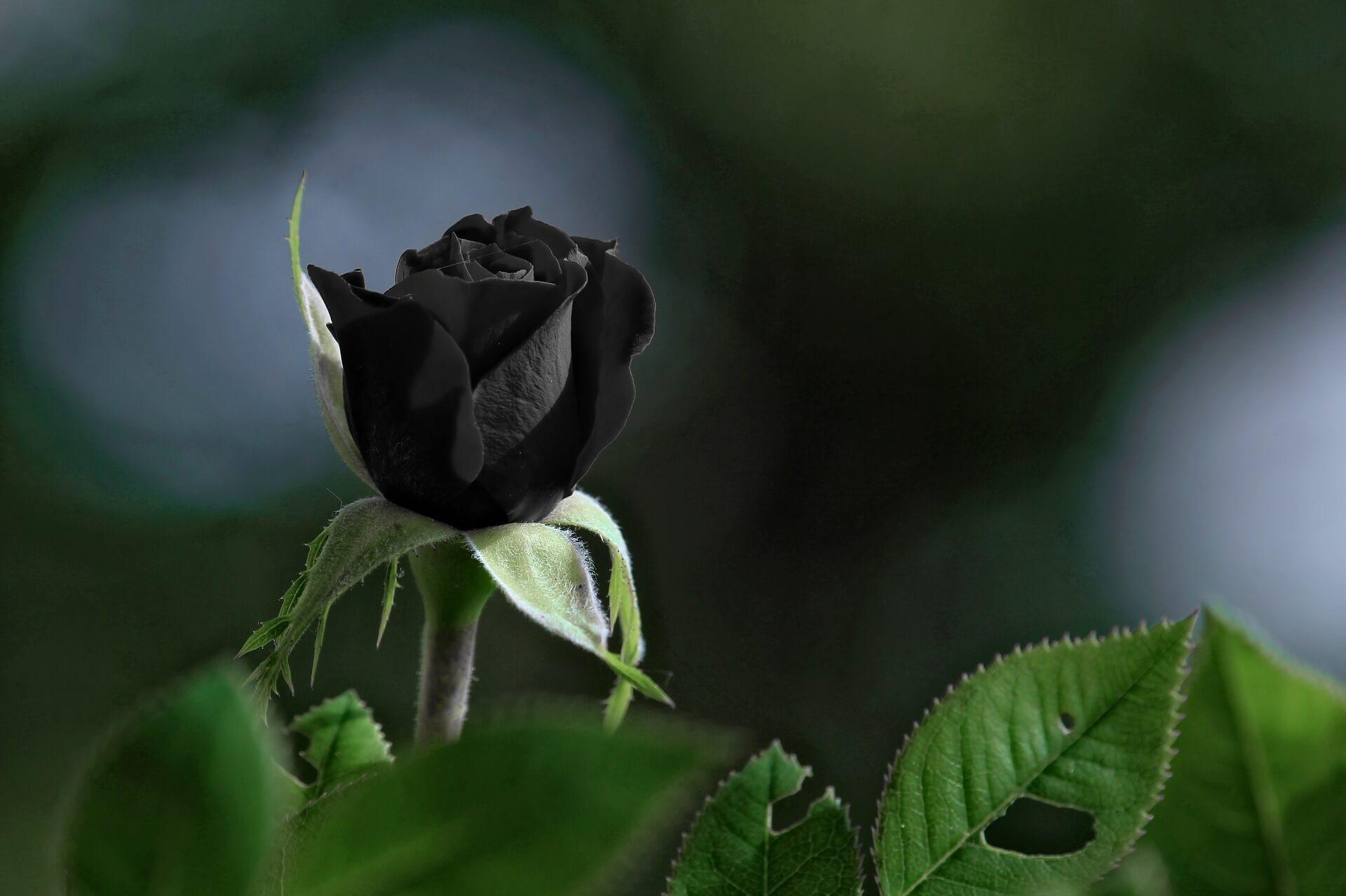 Foto Rosa Negra