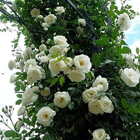En esta foto sale un rosal blanco con enormes rosas blancas. Es muy bonito